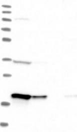NBP1-89186 - EEF1E1