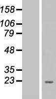 NBL1-10126 - EEF1E1 Lysate