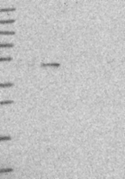 NBP1-91862 - EEF1G