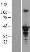 NBL1-15932 - EEN Lysate