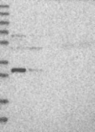 NBP1-81219 - EFCAB2
