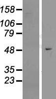 NBL1-10131 - EFCAB3 Lysate