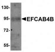 NBP1-76493 - EFCAB4B