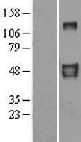 NBL1-10136 - EFEMP2 Lysate