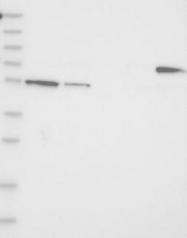 NBP1-85153 - EFHA2