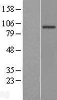 NBL1-10138 - EFHB Lysate