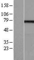 NBL1-10139 - EFHC1 Lysate