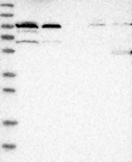 NBP1-81538 - Protein EFR3-like