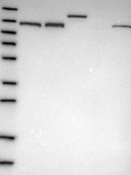 NBP1-87019 - U5-116 kDa / EFTUD2