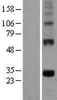 NBL1-10150 - EGFL7 Lysate