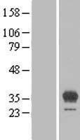 NBL1-10151 - EGFL8 Lysate
