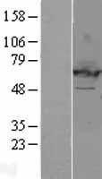 NBL1-10158 - EHD2 Lysate