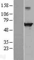 NBL1-10160 - EHD4 Lysate