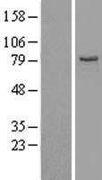 NBL1-10162 - EHHADH Lysate