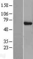NBL1-10191 - EIF3D Lysate