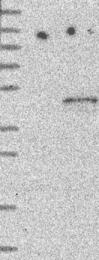 NBP1-84871 - EIF3H / EIF3S3