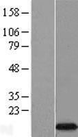 NBL1-10208 - EIF4EBP3 Lysate