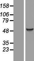 NBL1-10213 - EIF5 Lysate