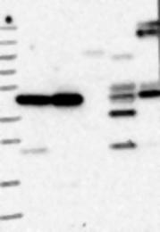 NBP1-85337 - ELAC1 / D29