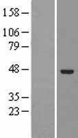 NBL1-10222 - ELAC1 Lysate