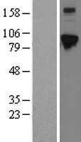 NBL1-10223 - ELAC2 Lysate