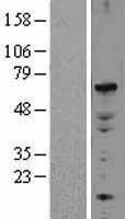 NBL1-10228 - ELF2 Lysate