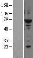 NBL1-10229 - ELF2 Lysate