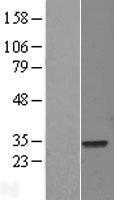 NBL1-10232 - ELF5 Lysate