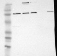 NBP1-90569 - ELFN2