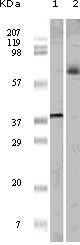 NBP1-47553 - ELK1