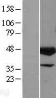 NBL1-10233 - ELK3 Lysate