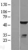 NBL1-10234 - ELK4 Lysate