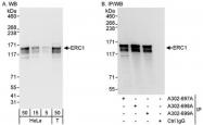 NBP1-46826 - ERC1 / ELKS