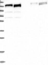 NBP1-88177 - ERC1 / ELKS