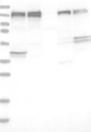 NBP1-88178 - ERC1 / ELKS