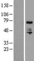 NBL1-10236 - ELL Lysate