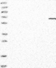 NBP1-89494 - ELL2