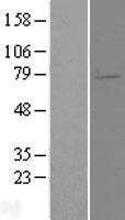 NBL1-10237 - ELL2 Lysate