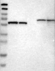 NBP1-85696 - ELMO1