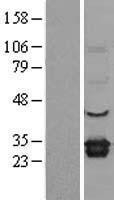 NBL1-10239 - ELMO1 Lysate