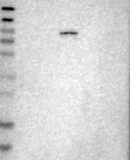 NBP1-84554 - ELMO2