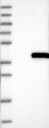 NBP1-85093 - ELMOD1