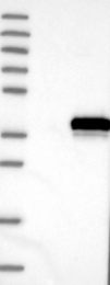 NBP1-85094 - ELMOD1