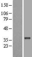 NBL1-10241 - ELMOD2 Lysate