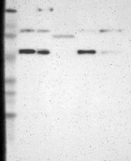 NBP1-83819 - ELP2 / STATIP1