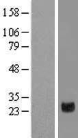 NBL1-10250 - ELSPBP1 Lysate