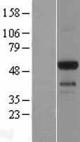 NBL1-10255 - EMID1 Lysate