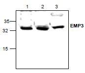 NBP1-45540 - EMP3 / YMP