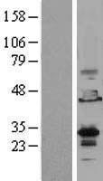 NBL1-10262 - EMX2 Lysate