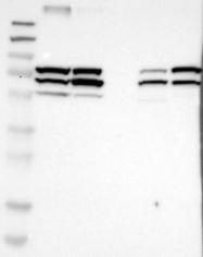 NBP1-81473 - ENDOD1